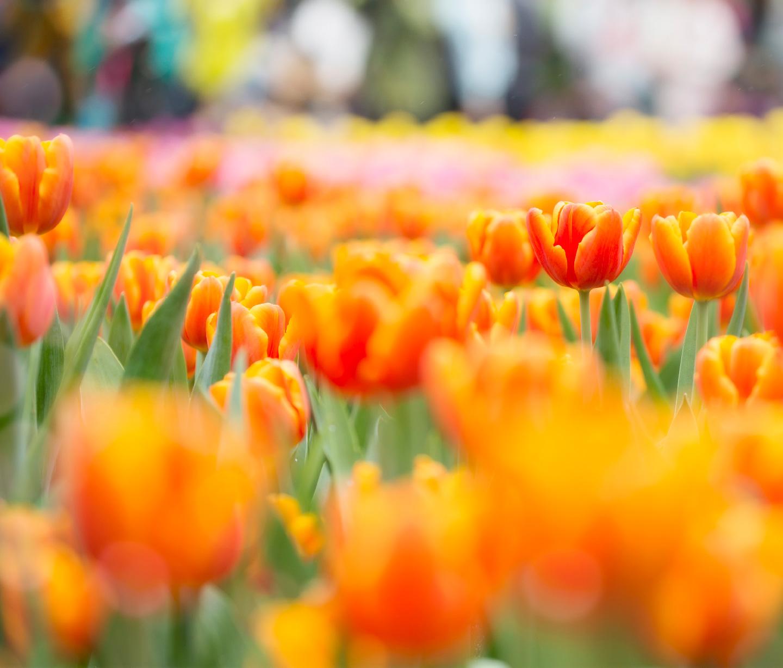 Parkinson-Tulpe